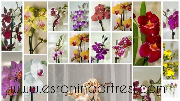1 evde orkide bakımı