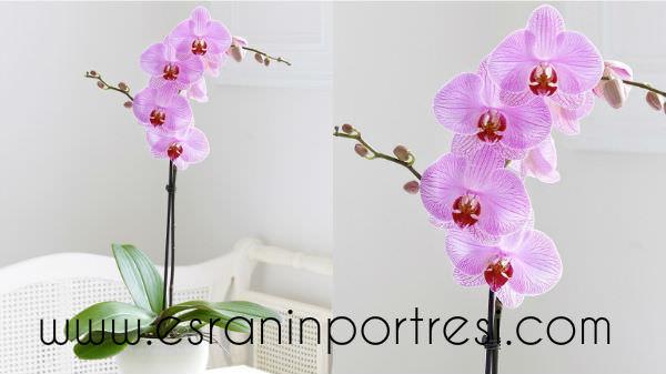 3 evde orkide bakımı